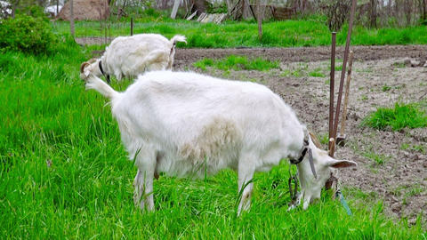 Goats on green meadow (life sound) Stock Video Footage