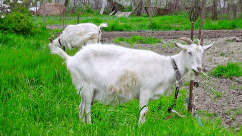 Goats on green meadow (life sound) Footage