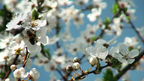 Bee pollinating flowers of cherry tree Stock Video Footage