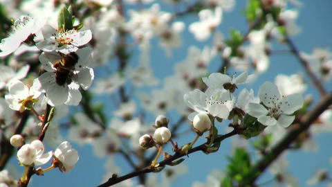 Bee pollinating flowers of cherry tree Footage