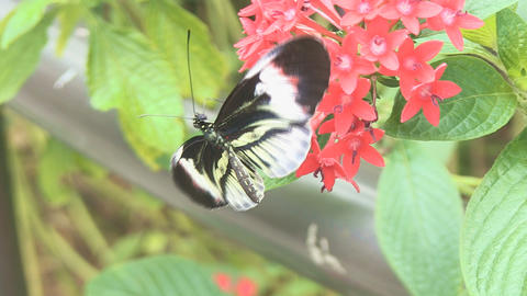 Butterfly getting nectar Footage