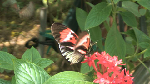 Butterflies getting nectar Footage