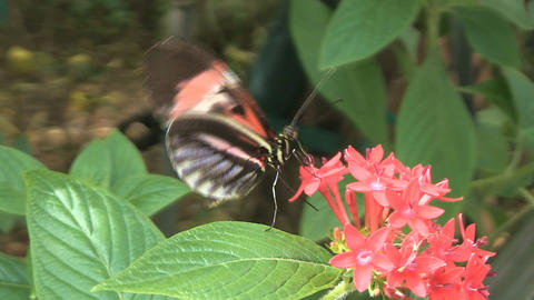 Butterfly getting nectar Stock Video Footage