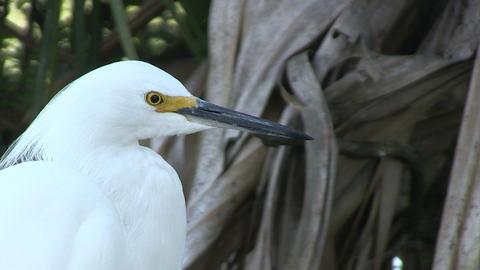 White egret Footage