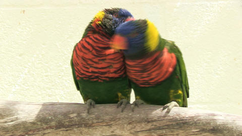 Two parrots cuddling Footage