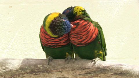 Two parrots cuddling Stock Video Footage