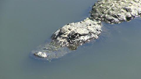 Alligator closes eye Stock Video Footage