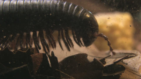 Millipede walking Stock Video Footage