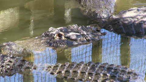 Alligators in captivity Footage