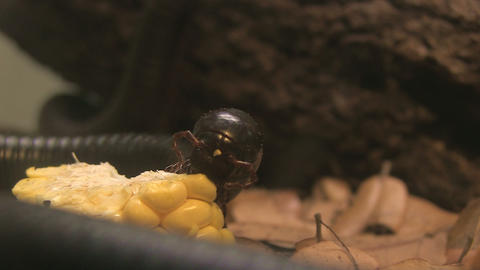Millipede eating corn Footage