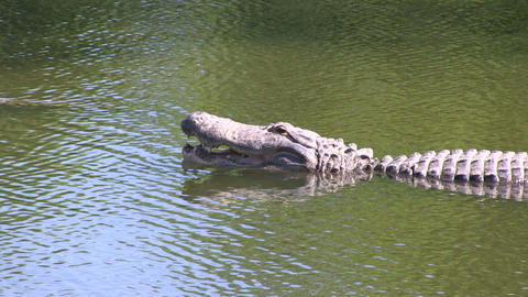 Alligator opens mouth Stock Video Footage