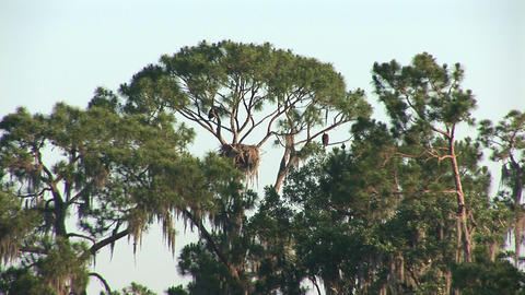 Bald eagle's nest Stock Video Footage
