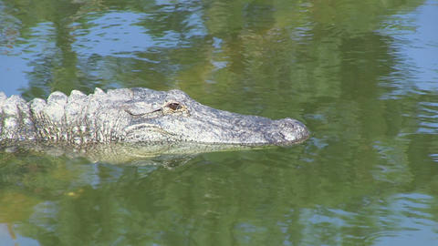 Alligator Opens Eye Stock Video Footage