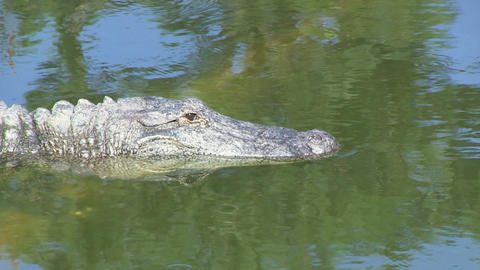 Alligator Opens Eye Stock Video Footage