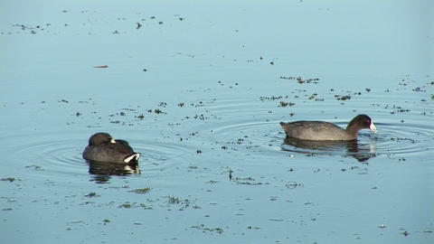 Ducks in a lake Stock Video Footage