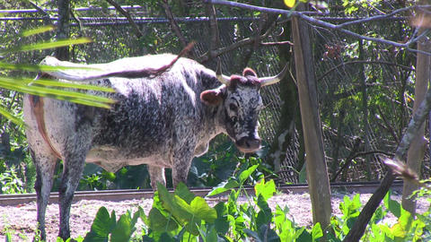 Florida Cow Stock Video Footage