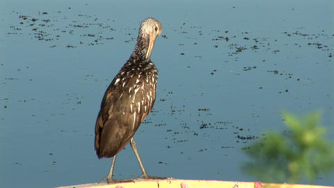 Limpkin cleaning itself Stock Video Footage