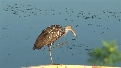 Limpkin cleaning itself Footage