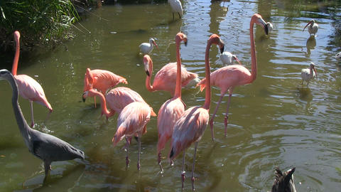 Flamingos Egrets Heron Geese Stock Video Footage
