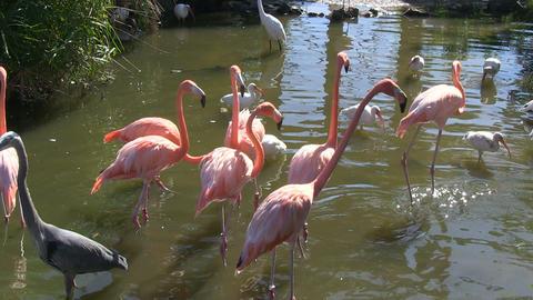 Flamingos Egrets Heron Geese stock footage