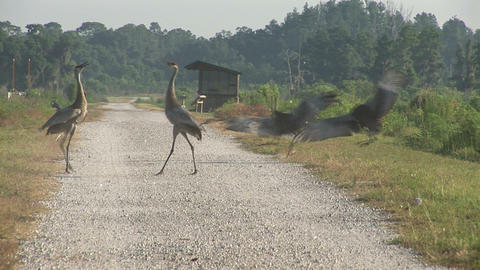 Sandhill cranes fighting Stock Video Footage