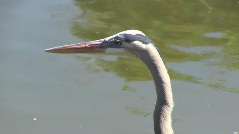 Heron hunts fish Stock Video Footage
