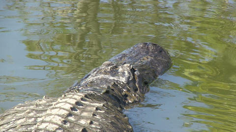 Big alligator swimming Stock Video Footage