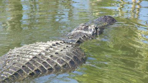 Big alligator swimming Stock Video Footage