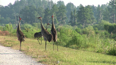 Sandhill cranes Stock Video Footage