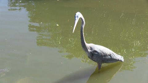 Blue Heron Watches Fishes Stock Video Footage