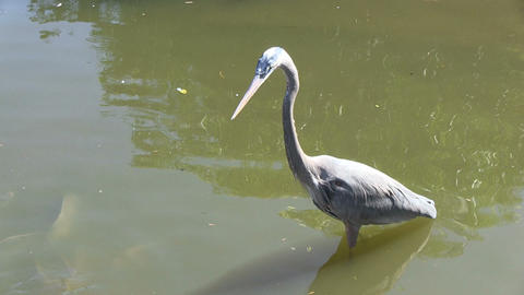 Blue Heron Watches Fishes Footage