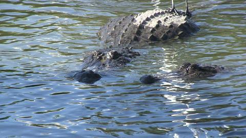 Alligators fighting Stock Video Footage