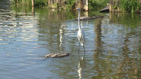 Egret on alligator Stock Video Footage
