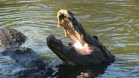 Alligators Stock Video Footage