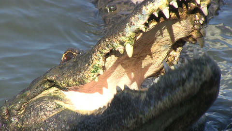 Alligators Stock Video Footage