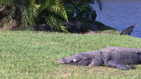Alligator and vulture Stock Video Footage