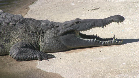 Alligator in captivity Stock Video Footage