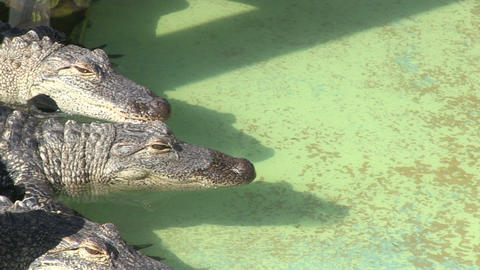 Alligators in captivity Stock Video Footage