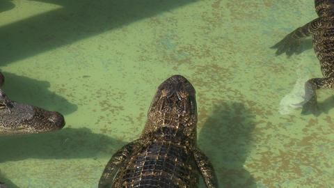 Alligators in captivity Live Action