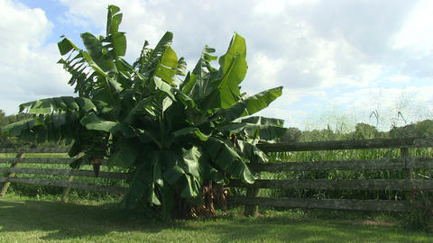 Banana tree Footage