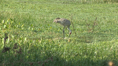 Crane lies down on nest Stock Video Footage