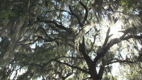Live oak with moss Stock Video Footage