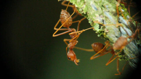 Ants Communicate Macro Stock Video Footage