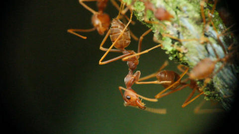 Ants Communicate Macro stock footage