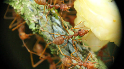 Ants With Food Macro 2 Stock Video Footage