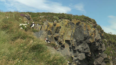 atlantic puffin colony in iceland Stock Video Footage