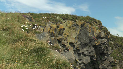 atlantic puffin colony in iceland Live Action