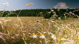 Chamomile flowers on a summer meadow Stock Video Footage
