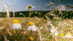 Chamomile flowers on a summer meadow Footage