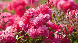 flower bed of red flowers roses Stock Video Footage